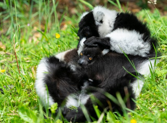 A black and white ruffed lemur baby named Zephyr was born during lockdown