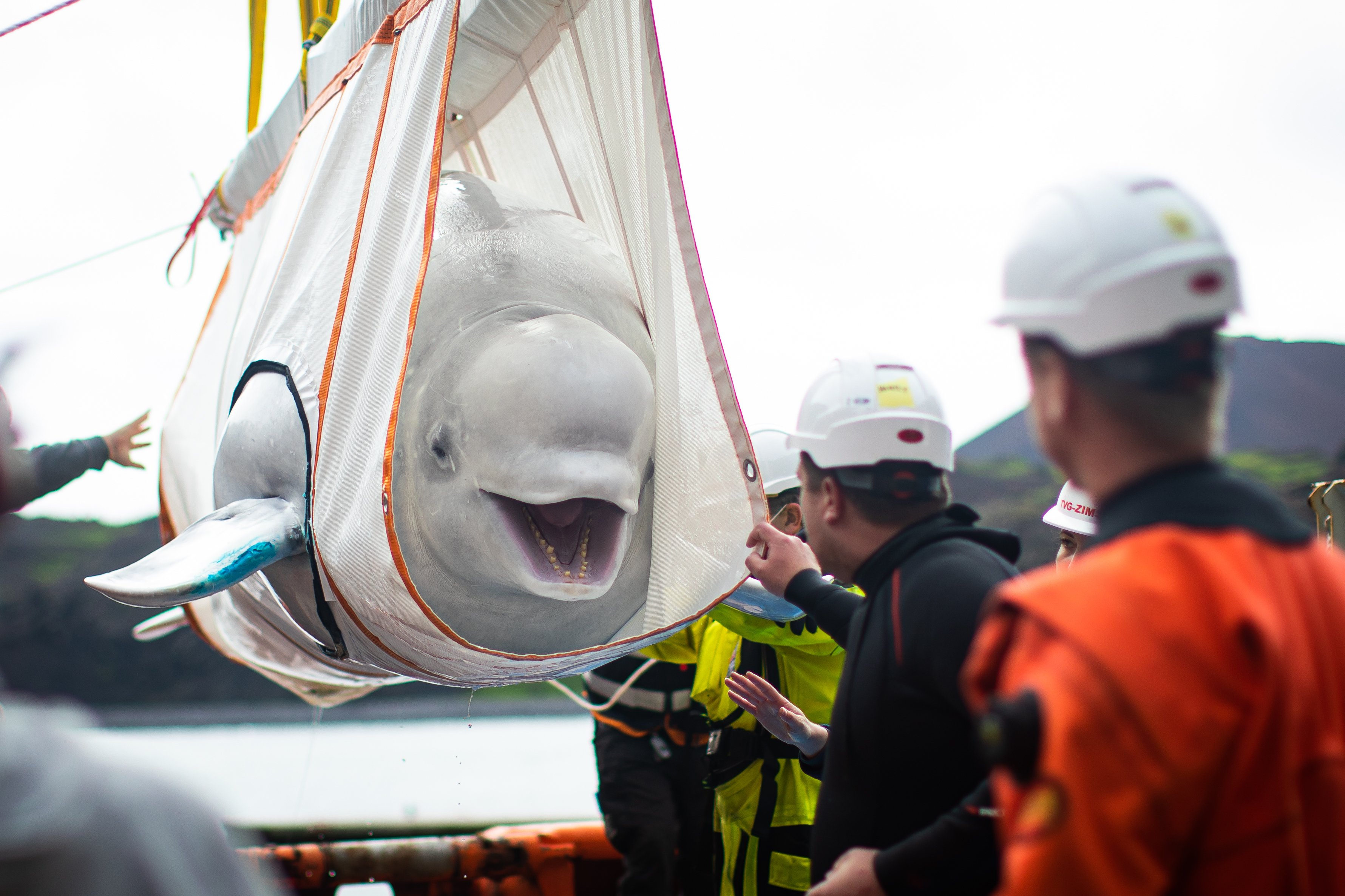 Two beluga whales move step closer to open water home
