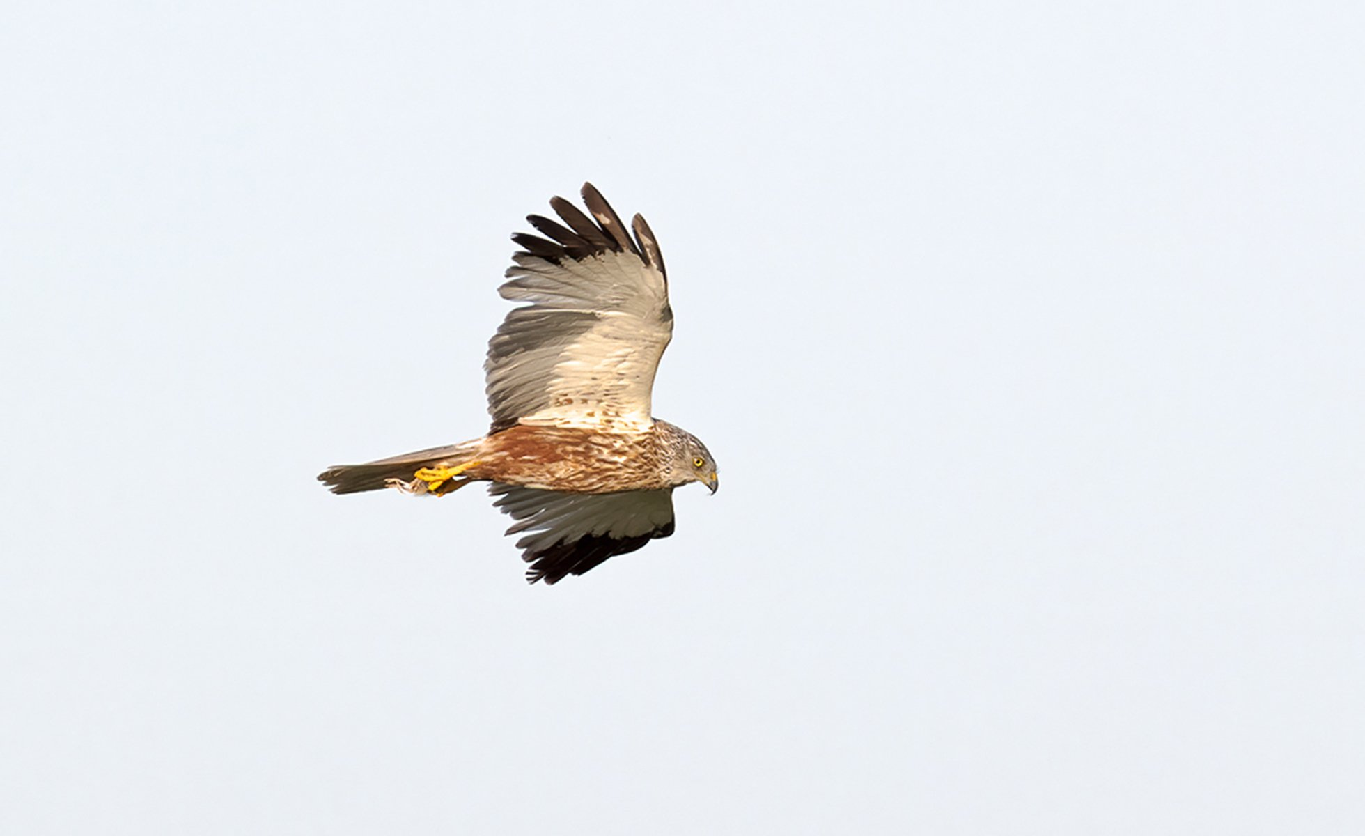 'Most successful breeding year in decades' for marsh harriers at nature reserve