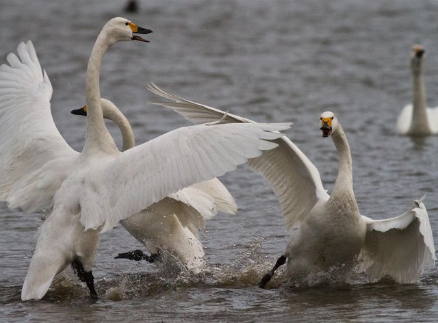 Bewick's swans being aggressive at Slimbridge