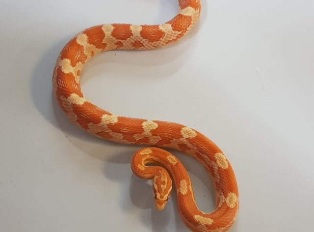 The RSPCA were called out to a home in Leeds after a corn snake was discovered