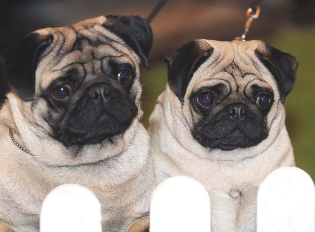 Two pugs