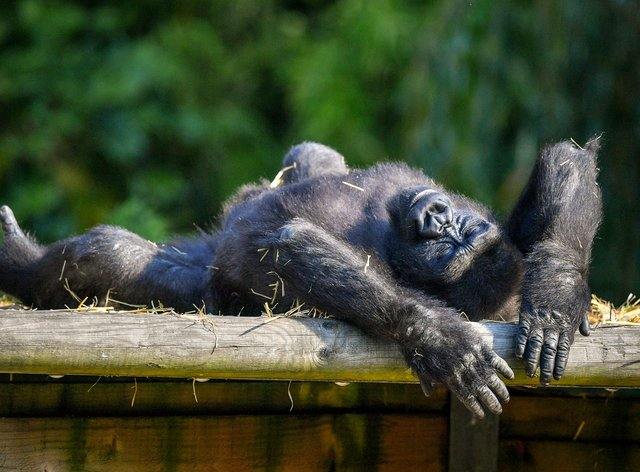 Lazy daze: a Western lowland gorilla stretches out in the sun
