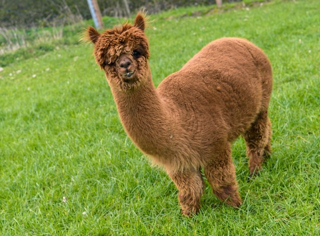 Alpaca stops play: pitch invasion causes chaos in West Yorkshire