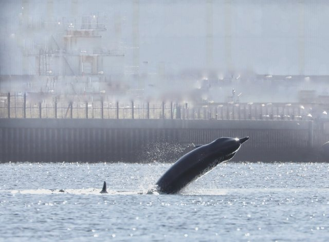 One of the whales that have been spotted in and around the Clyde over the last month