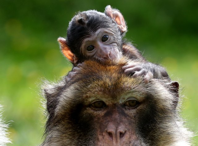 A young Barbary Macaque clings onto his mother