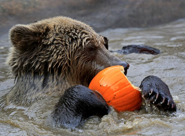 Mish, one of two rescued 19-month-old brown bear cubs, plays with a pumpkin at the Wildwood Trust in Herne Bay, Kent
