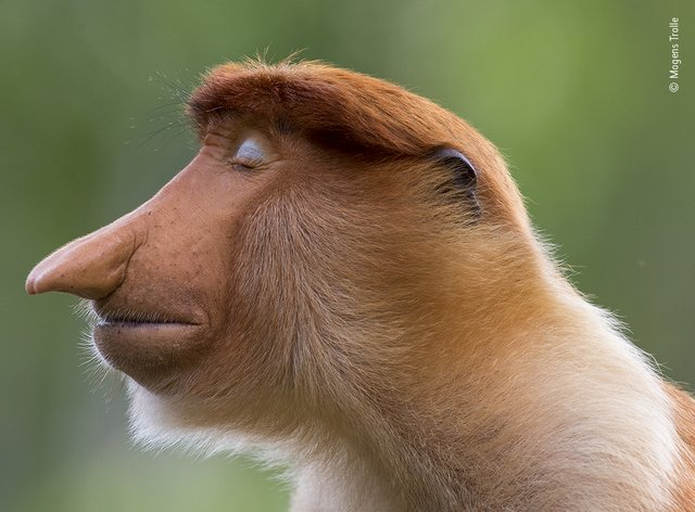 A young male proboscis monkey, by Mogens Trolle, which is a 2020 category prize winner at the Wildlife Photographer of the Year competition