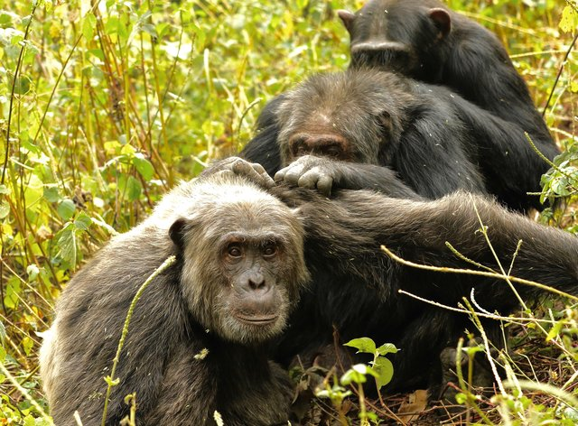 Three male chimpanzees grooming each other