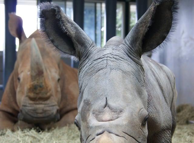 A baby white rhino