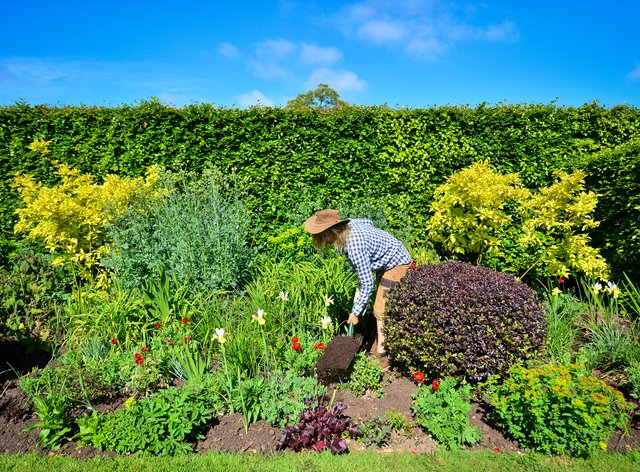 A gardener digs in compost to the soil