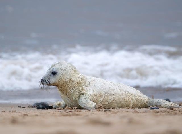 Grey seal pup