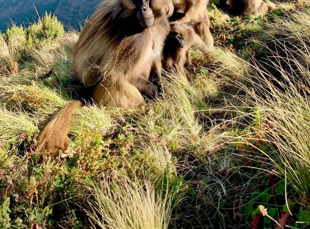 A dominant gelada male and his group of females sitting on the edge of a cliff