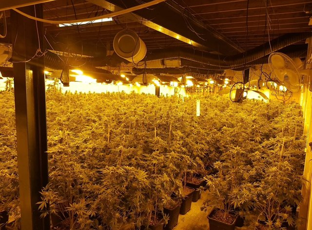 Dozens of plants crammed into a room under bright lights