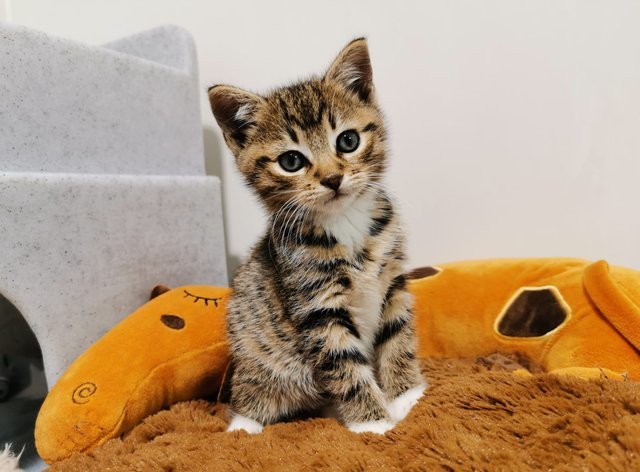 Hans, a kitten adopted through Cats Protection