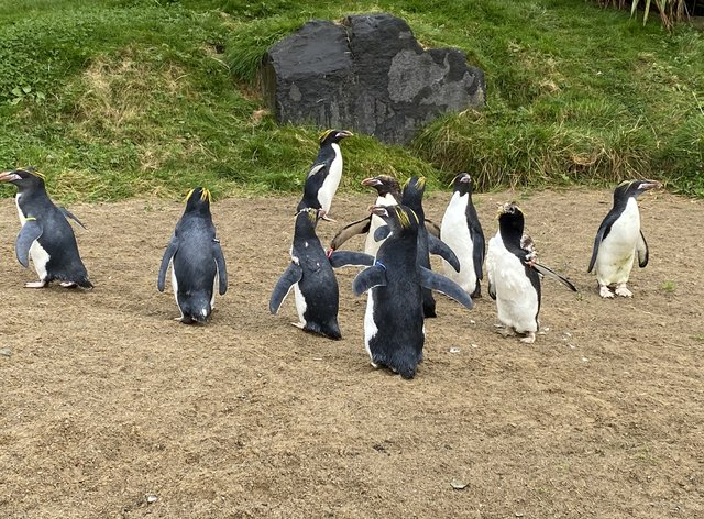Macaroni penguins find new home