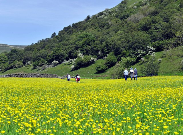 Buttercup meadow in the Yorkshire Dales