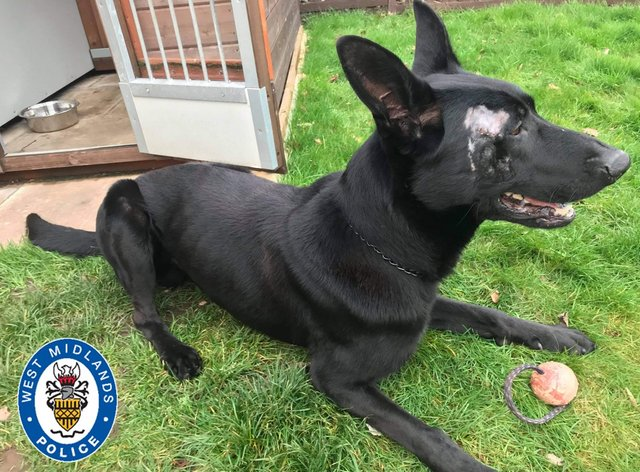 Stark, a German Shepherd and Belgian Malinois cross police dog injured in a machete attack while tracking a burglary suspect