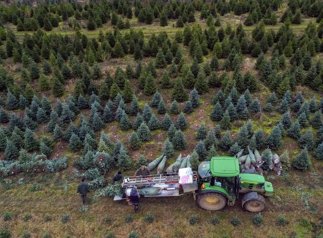 Xmas trees at The Tree Barn