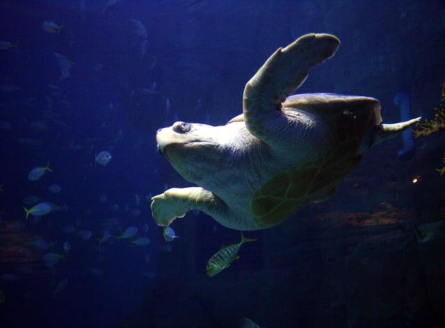 A sea turtle in Plymouth Aquarium.
