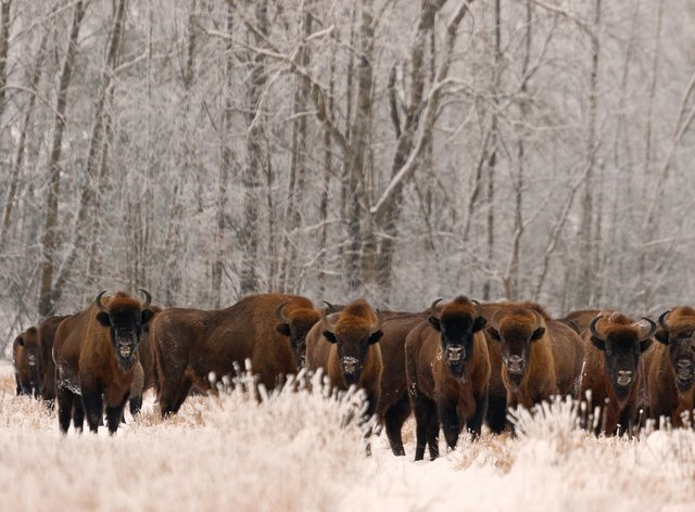 A herd of European bison