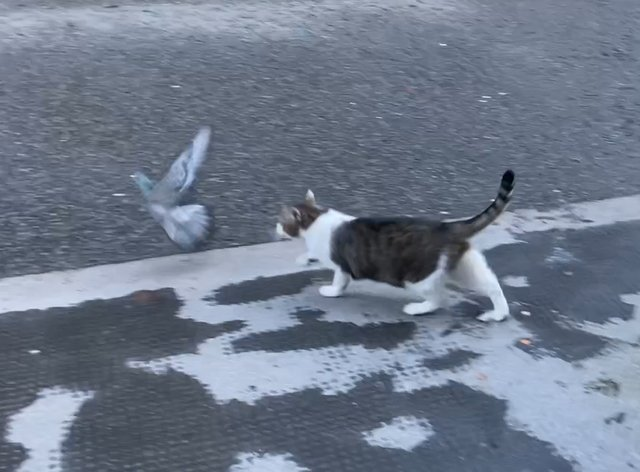 Larry the Cat stalking a pigeon on Downing Street
