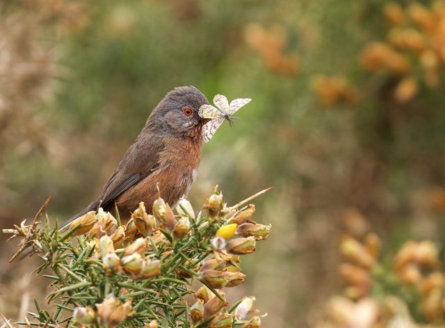 Dartford Warbler (Sylvia undata) on yellow gorse with Heath moth in its beak at Ibsley Common, New Forest, Hampshire.