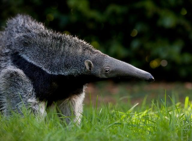 Giant Anteater, myrmecophaga tridactyla, Young Female