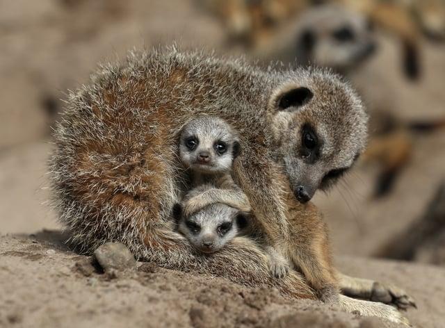 Meerkats at Drummond Safari Park near Stirling