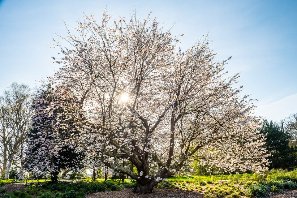 Celebrate Cherry Blossom Season By Planting A Cherry Tree Of Your Own Newschain