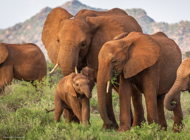 Elephants in the Buffalo Springs National Reserve in northern Kenya