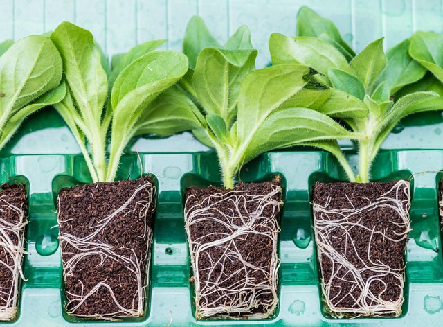 Plug plants in a plastic container (Alamy/PA)