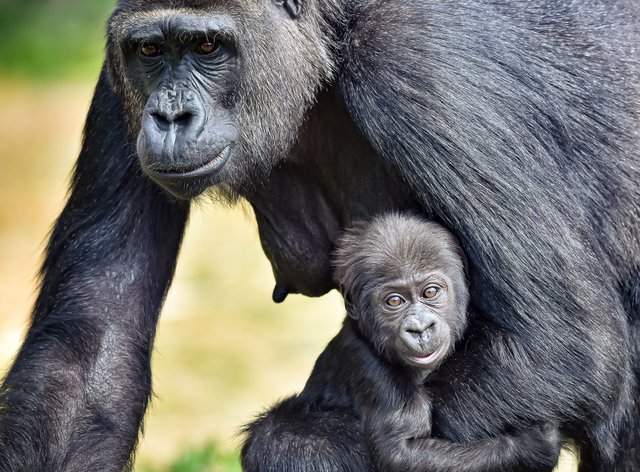 Bristol Zoo's baby western lowland gorilla has been named Juni after his parents, Jock and Touni (Ben Birchall/PA).