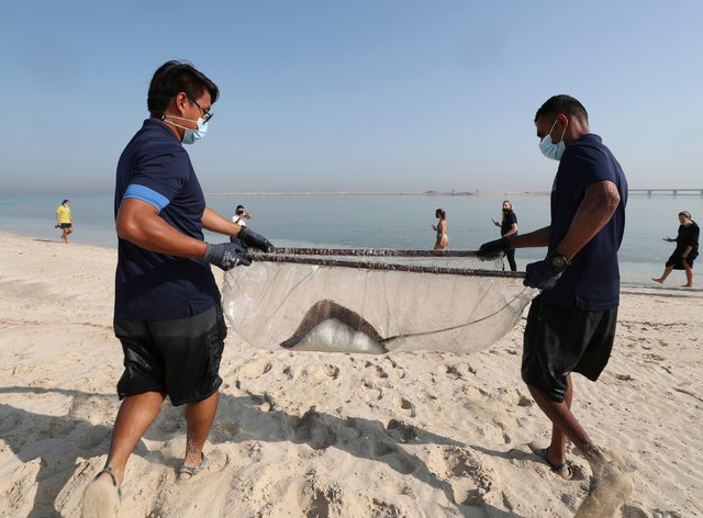 A stingray being transferred to the Persian Gulf waters as part of a conservation project by the Atlantis Hotel at the Jebel Ali Wildlife Sanctuary in Dubai, United Arab Emirates