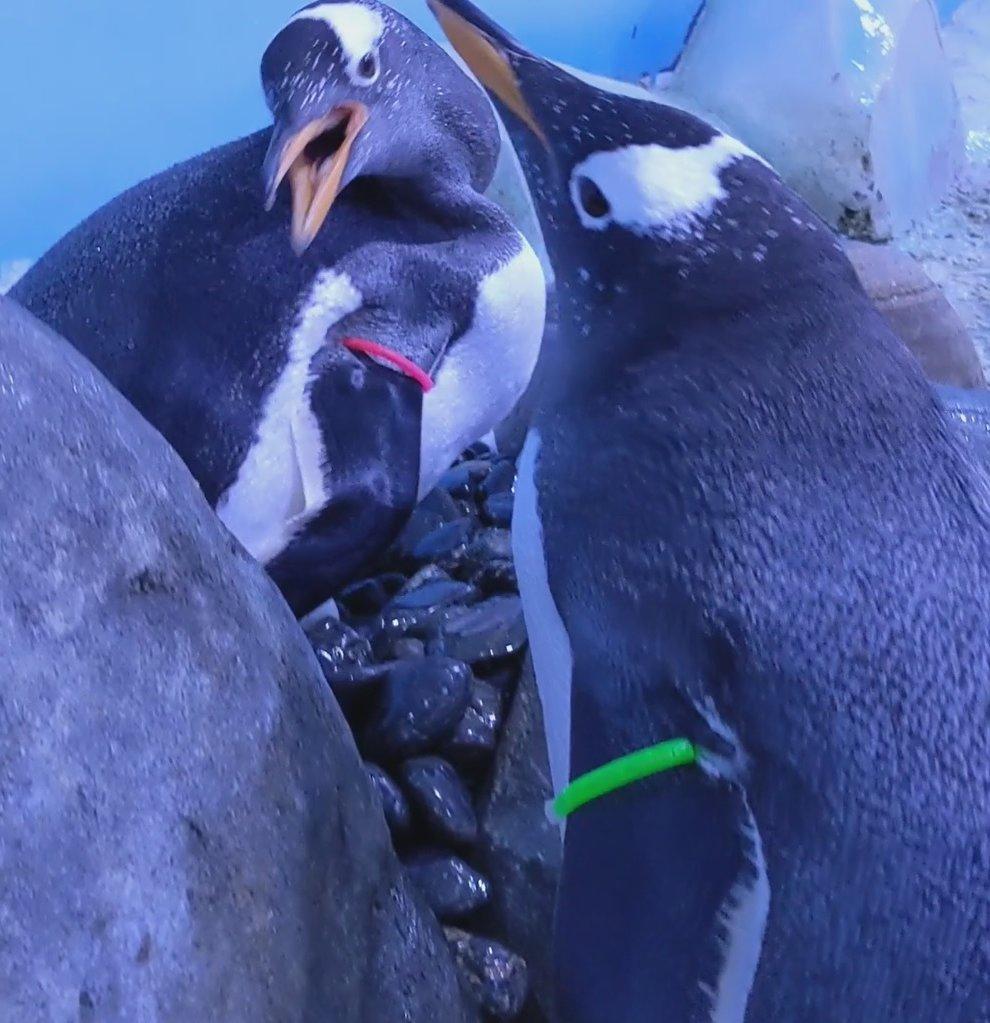 Penguins perform mating ritual