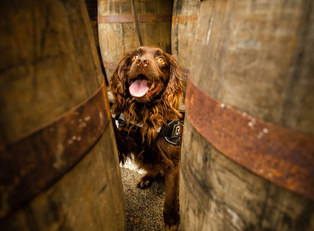Rocco the sniffer dog at Grant's Whisky distillery