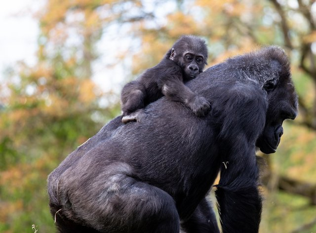 Western lowland gorilla Hasani with his surrogate mother Kera