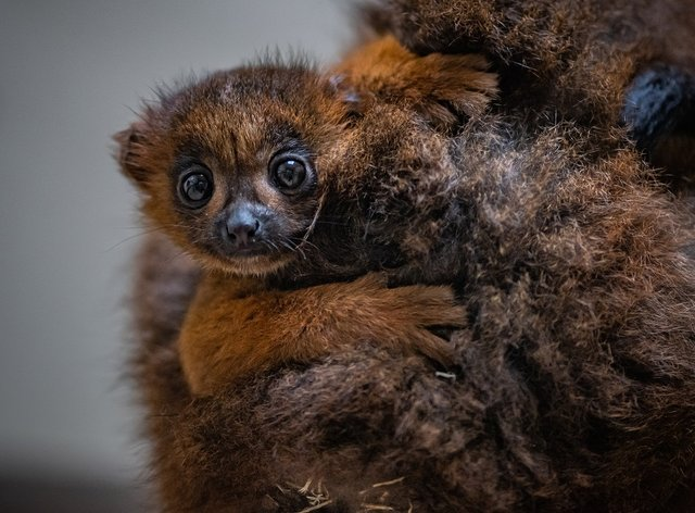 Red-bellied lemur born at Chester Zoo