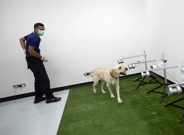 Sniffer dog smelling coronavirus samples