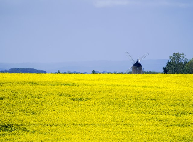 A field of rape seed near the windmill at Great Haseley in Oxfordshire