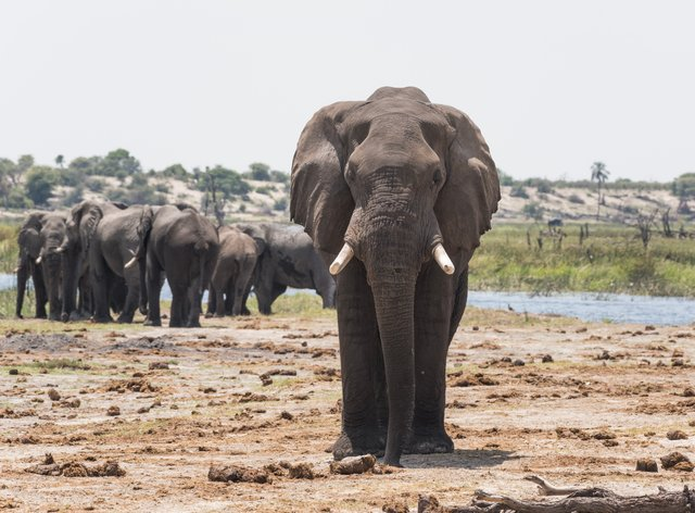 Elephant sniffing dung