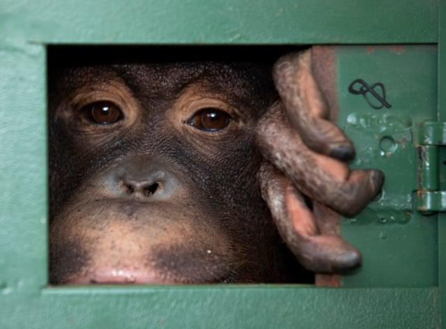 an orangutan in a cage