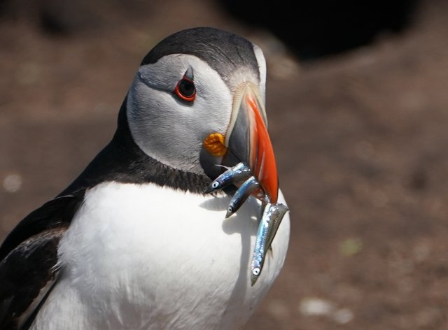 A puffin on the Farne Islands holds fish in its beak