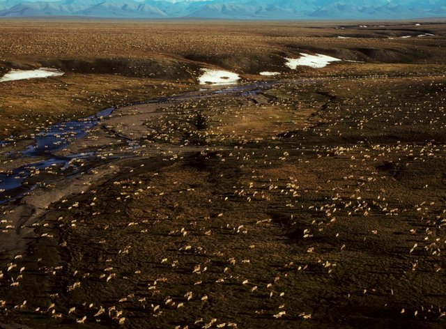 This undated aerial photo provided by US Fish and Wildlife Service shows a herd of caribou on the Arctic National Wildlife Refuge in northeast Alaska