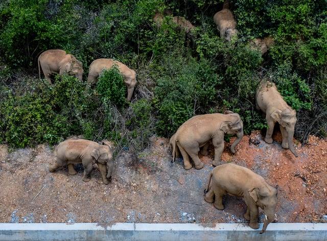 The herd of wild Asian elephants
