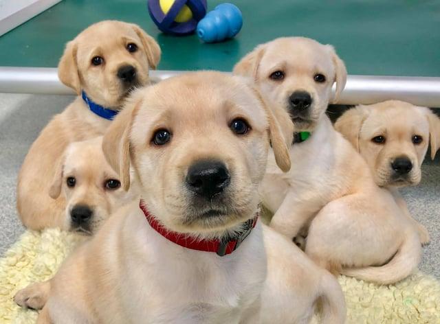 A litter of retriever puppies