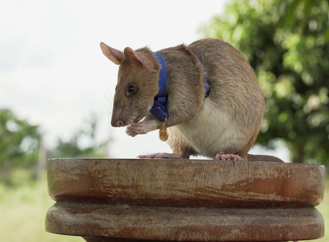 Rat hero Magawa