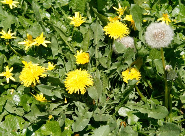 Dandelions and other weeds (Alamy/PA)