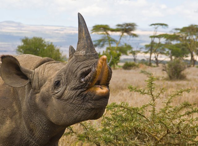 Black rhinoceros, also known as hook-lipped rhino, Lewa Downs Wildlife Conservancy, Kenya