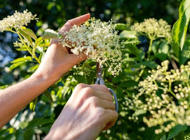 Picking white elderflower flowers.